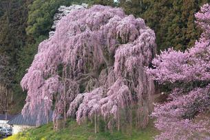 合戦場のしだれ桜の写真素材 [FYI03429995]