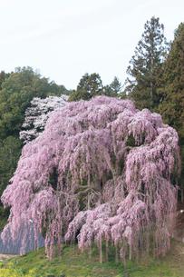 合戦場のしだれ桜の写真素材 [FYI03429997]