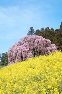 菜の花と合戦場のしだれ桜の写真素材 [FYI03429998]