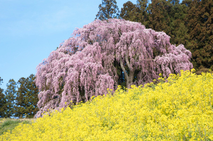 菜の花と合戦場のしだれ桜の写真素材 [FYI03429999]