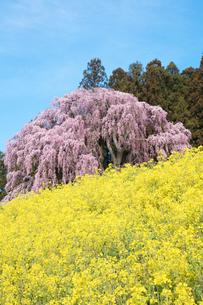 菜の花と合戦場のしだれ桜の写真素材 [FYI03430000]