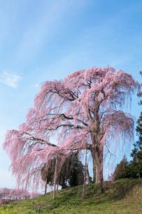 合戦場のしだれ桜の写真素材 [FYI03430009]