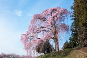 合戦場のしだれ桜の写真素材 [FYI03430010]