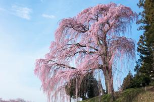 合戦場のしだれ桜の写真素材 [FYI03430011]