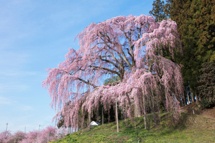 合戦場のしだれ桜の写真素材 [FYI03430012]