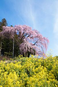 菜の花と合戦場のしだれ桜の写真素材 [FYI03430015]