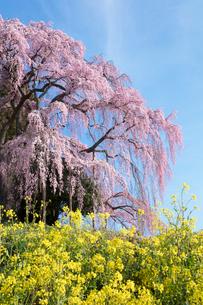 菜の花と合戦場のしだれ桜の写真素材 [FYI03430016]