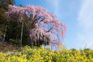 菜の花と合戦場のしだれ桜の写真素材 [FYI03430017]