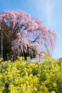 菜の花と合戦場のしだれ桜の写真素材 [FYI03430018]