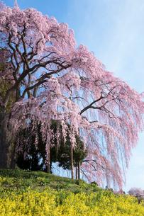 菜の花と合戦場のしだれ桜の写真素材 [FYI03430019]
