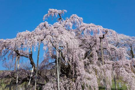 三春の滝桜の写真素材 [FYI03430020]
