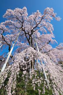 三春の滝桜の写真素材 [FYI03430021]
