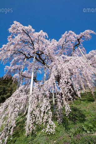 三春の滝桜の写真素材 [FYI03430022]