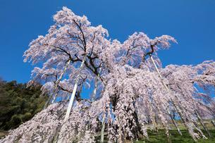 三春の滝桜の写真素材 [FYI03430023]