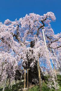 三春の滝桜の写真素材 [FYI03430024]