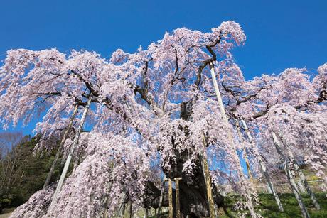三春の滝桜の写真素材 [FYI03430025]