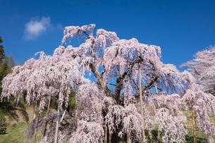 三春の滝桜の写真素材 [FYI03430026]