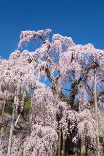 三春の滝桜の写真素材 [FYI03430027]