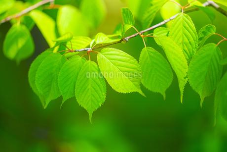 緑の葉の写真素材 [FYI03430058]