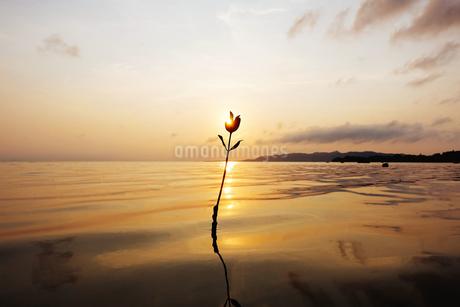 マングローブの若木と夕日の写真素材 [FYI03430066]