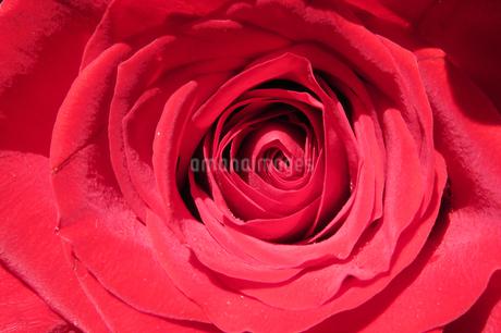 バラ ローズ 薔薇 使い勝手のよい万能背景の写真素材 [FYI03430191]