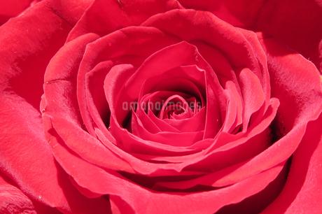 バラ ローズ 薔薇 使い勝手のよい万能背景の写真素材 [FYI03430192]