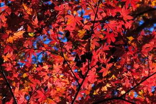 震生湖の紅葉の写真素材 [FYI03430236]