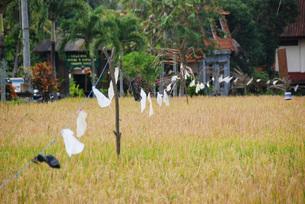 東南アジア バリ島 農村風景 ライスフィールドの写真素材 [FYI03430364]