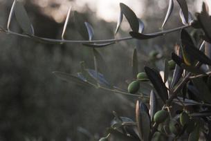 早朝のオリーブ畑のオリーブの写真素材 [FYI03430384]