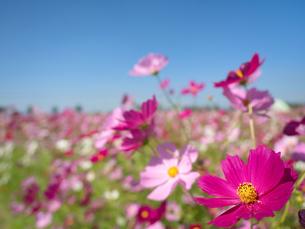 青空とコスモス畑の写真素材 [FYI03430598]