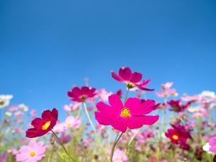 青空とコスモス畑の写真素材 [FYI03430599]