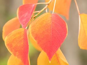 紅葉した葉の写真素材 [FYI03430786]