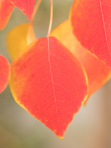 紅葉した葉の写真素材 [FYI03430788]
