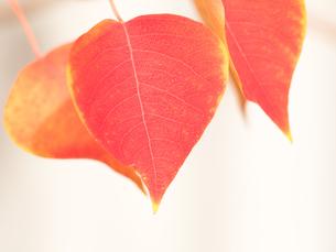 紅葉した葉の写真素材 [FYI03430789]