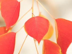 紅葉した葉の写真素材 [FYI03430790]