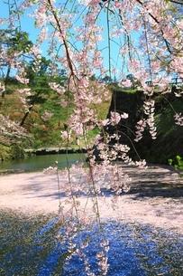 弘前城内濠の花筏の写真素材 [FYI03430792]