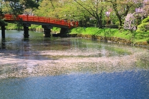 弘前城内濠の花筏の写真素材 [FYI03430793]