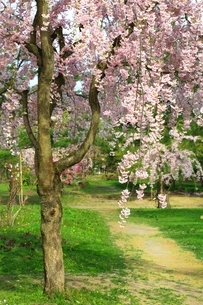 弘前公園の桜の写真素材 [FYI03430794]