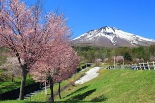 岩木山と桜の写真素材 [FYI03430829]