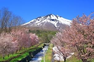 岩木山と桜の写真素材 [FYI03430830]