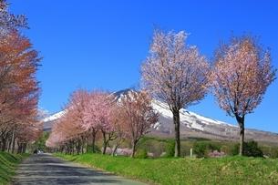 岩木山と桜の写真素材 [FYI03430840]