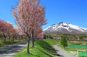 岩木山と桜の写真素材 [FYI03430841]
