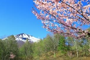 岩木山と桜の写真素材 [FYI03430846]