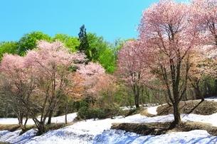 桜と八甲田ブナ林の写真素材 [FYI03430890]