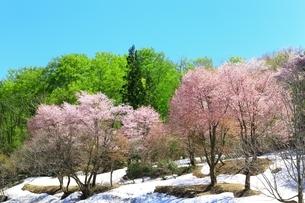 桜と八甲田ブナ林の写真素材 [FYI03430891]