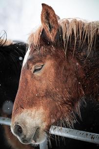 冬の馬の写真素材 [FYI03431326]