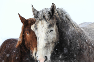 冬の馬の写真素材 [FYI03431329]