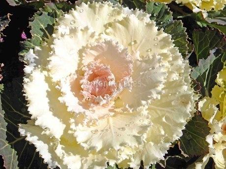 朝日を浴びて葉牡丹に乗る水滴は宝石のようの写真素材 [FYI03431415]
