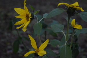 11月の向日葵の写真素材 [FYI03431877]