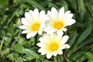 花の写真素材 [FYI03431917]